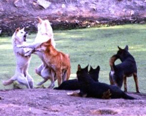 Dingo Jacobs dingoes