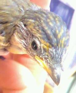 Striated Pardalote Chick