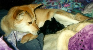 Mercy and 4 little souls born on the 15th of Augast 2004. As soon as I got home from the Hospital, after holding my Mum's (Janice Dawn McGrath)hand while she took her last breath. I got home to find Mercy waiting on my to give birth to 4 little Black and Tan Dingo Pup's.  some Aborigines believe that a dingo would appear as your loved one after they had died...in my Mum's case I got 4 little girls born in mourning suits.